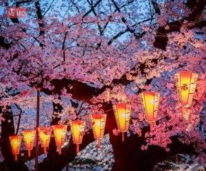 იაპონიაში საკურას ყვავილობას ელოდებიან: წლის ერთ-ერთი მნიშვნელოვანი ტურისტული მოვლენა ახლოვდება