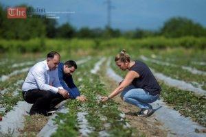 ერთიანი აგროპროექტის ფარგლებში გურჯაანის რაიონში მარწყვის ახალი ბაღი გაშენდა